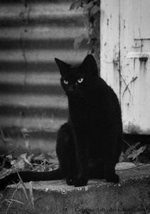 black_cat_by_calypso_ash.jpg